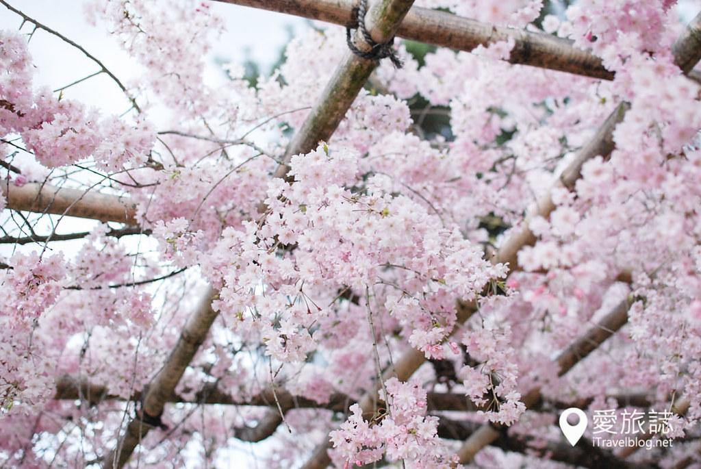 京都赏樱景点 半木之道 30
