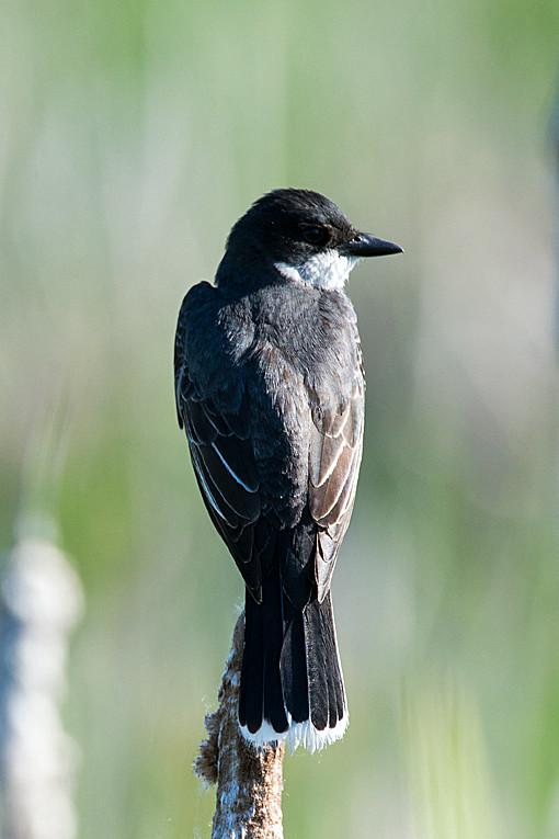 _DSC0866 Eastern Kingbird