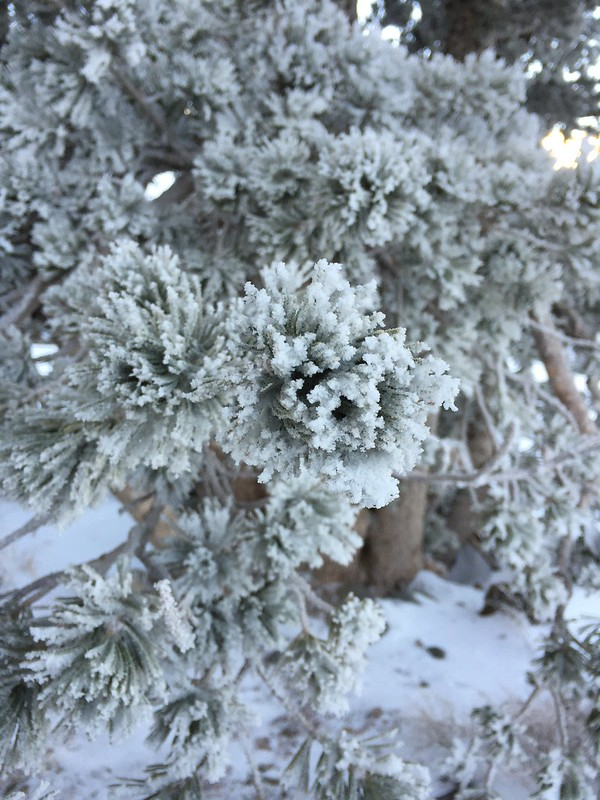 Snowy needles