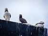 Three puffins on a roof