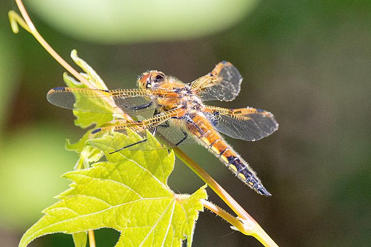 _DSC9896 Dragonfly