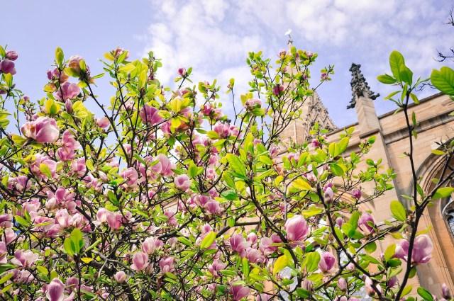 Magnolia Oxford