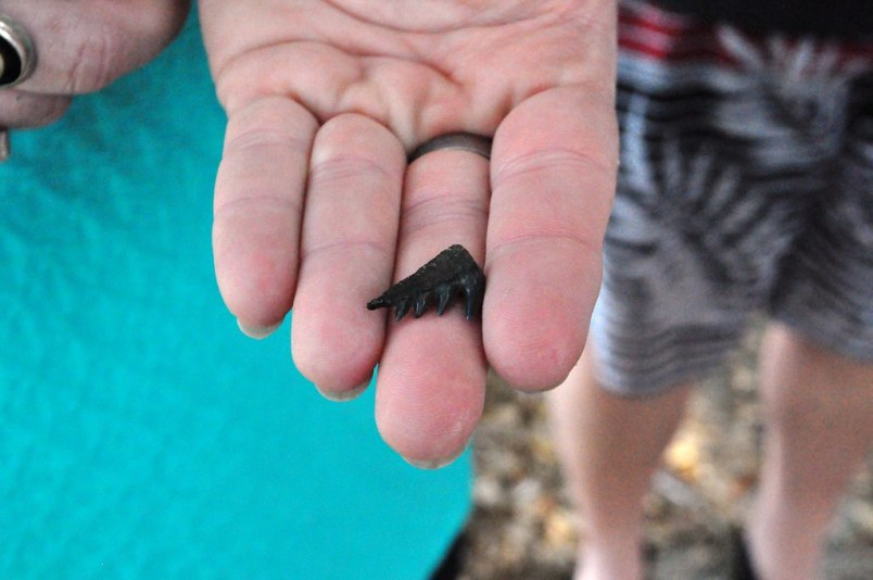 One of the day's nifty finds of fossiling with Mark Renz of Fossil Expeditions in the Peace River, Fla., March 2015.