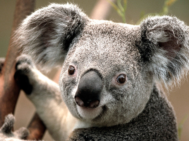 Photo:Koala By:La Butaca Dorada