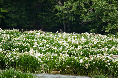 Lansford Canal Spider Lilies-50