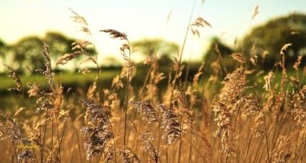 Wheat Fields of Cheshire