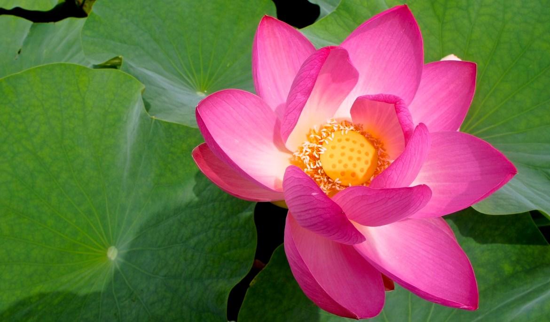Lotus flowers at Chiba Koen
