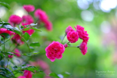 薔薇 20150522-26-DSCF3187