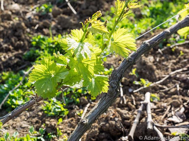 Moet & Chandon Grape Vineyards, Cramant France
