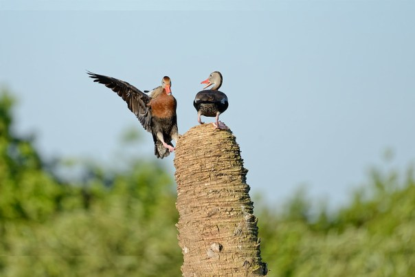Black Bellied Whistling Duck disputes - 2 of 4
