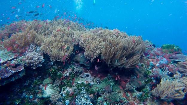 Coral at Tatawa Kecil