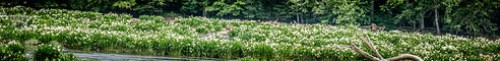 Lansford Canal Spider Lilies-103