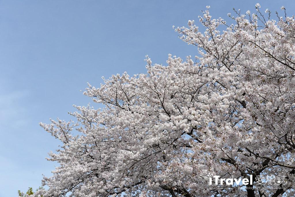 京都賞櫻景點 井手町玉川堤 (19)
