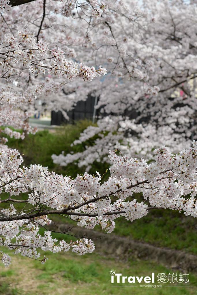 京都賞櫻景點 井手町玉川堤 (42)