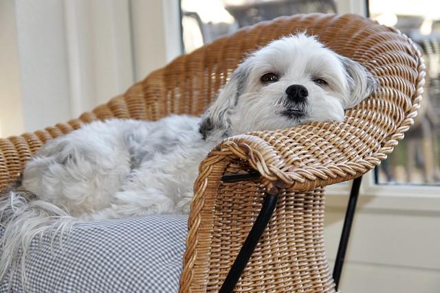 Klein wit hondje in rieten stoel