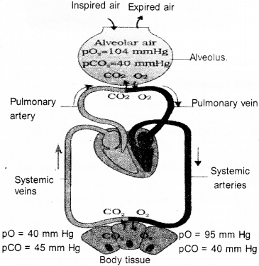 Plus One Zoology Notes Chapter 6 Breathing and Exchange of Gases 14