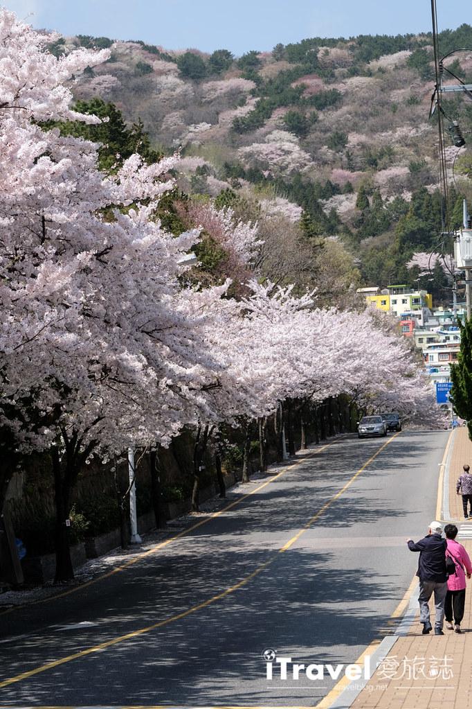釜山賞櫻景點 東大新洞望洋路 (67)