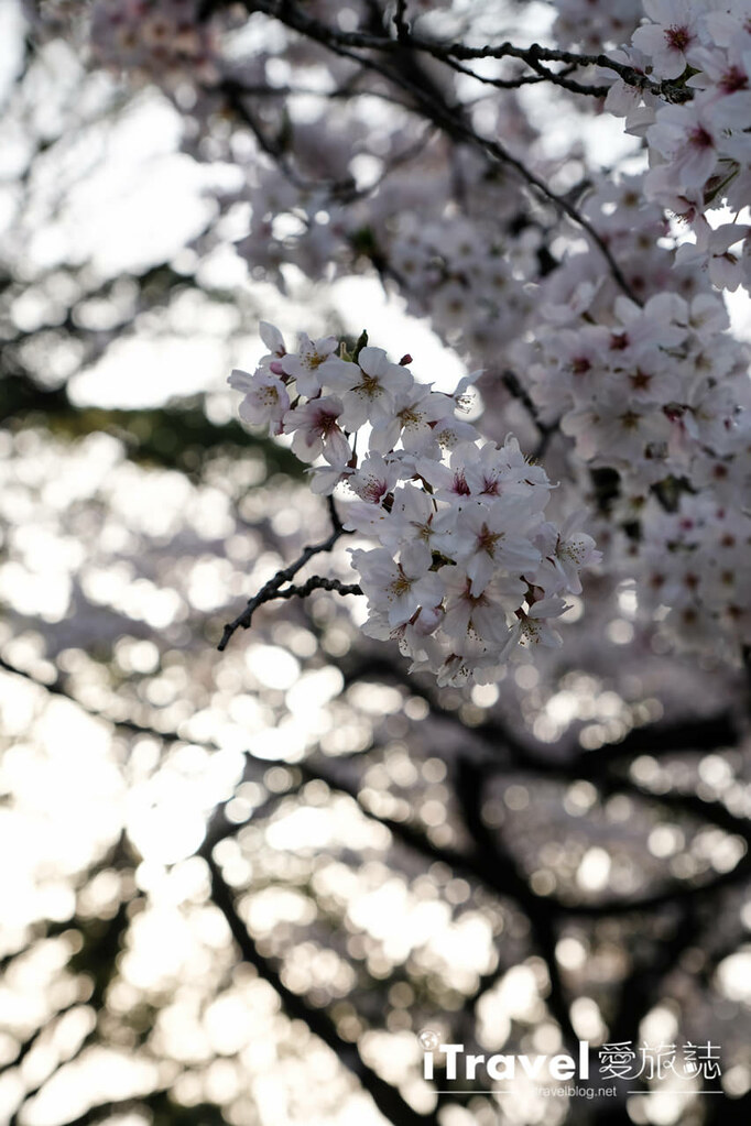 福岡賞櫻景點 福岡城 (28)