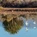 Little Egrets at La Charca