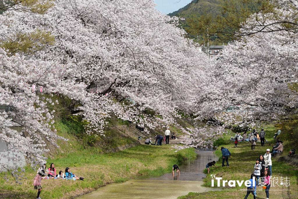 京都賞櫻景點 井手町玉川堤 (8)