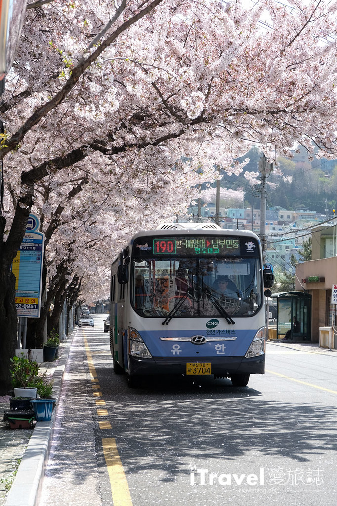 釜山賞櫻景點 東大新洞望洋路 (26)