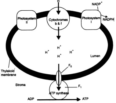 Plus One Botany Notes Chapter 9 Photosynthesis in Higher Plants 12