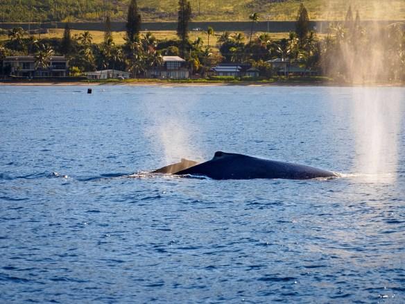 Humpback Whale Mother & Calf Blow Maui