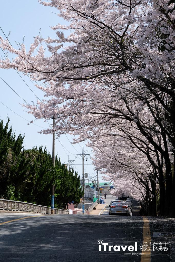 釜山賞櫻景點 東大新洞望洋路 (61)