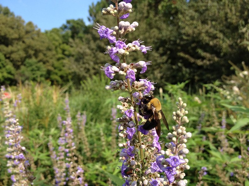 Bee at Chicago Botanic Garden