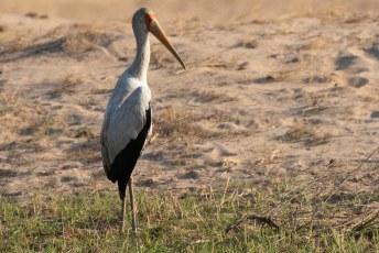 De Yellow-billed Stork (Mycteria ibis) die ik ook in Senegal zag, maar in het Nederlands heeft ie een veel mooiere naam. De Afrikaanse nimmerzat.