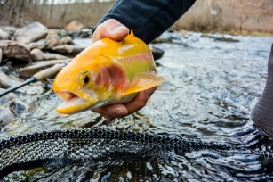Photo of golden trout
