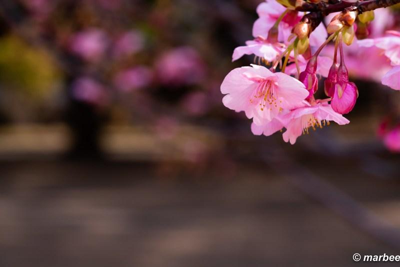Is it Sakura?