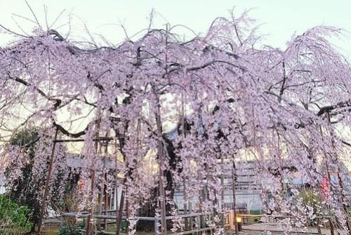 地蔵院枝垂れ桜