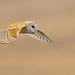 Barn Owl (X8A_7186-1)