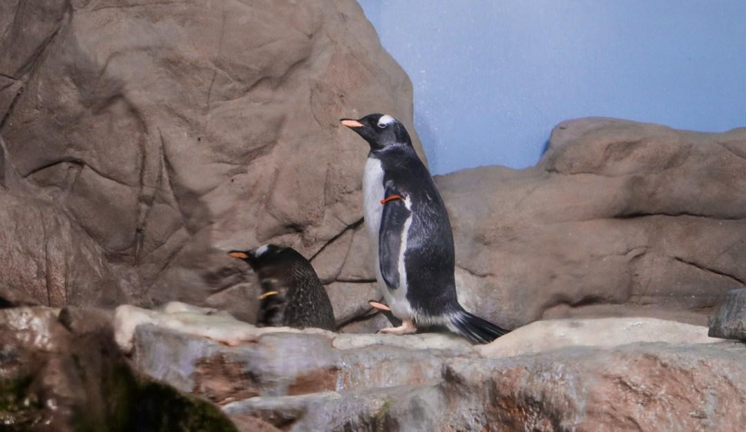 Vasca dei pinguini, Acquario di Genova