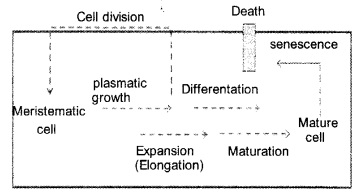 Plus One Botany Notes Chapter 11 Plant Growth and Development 4