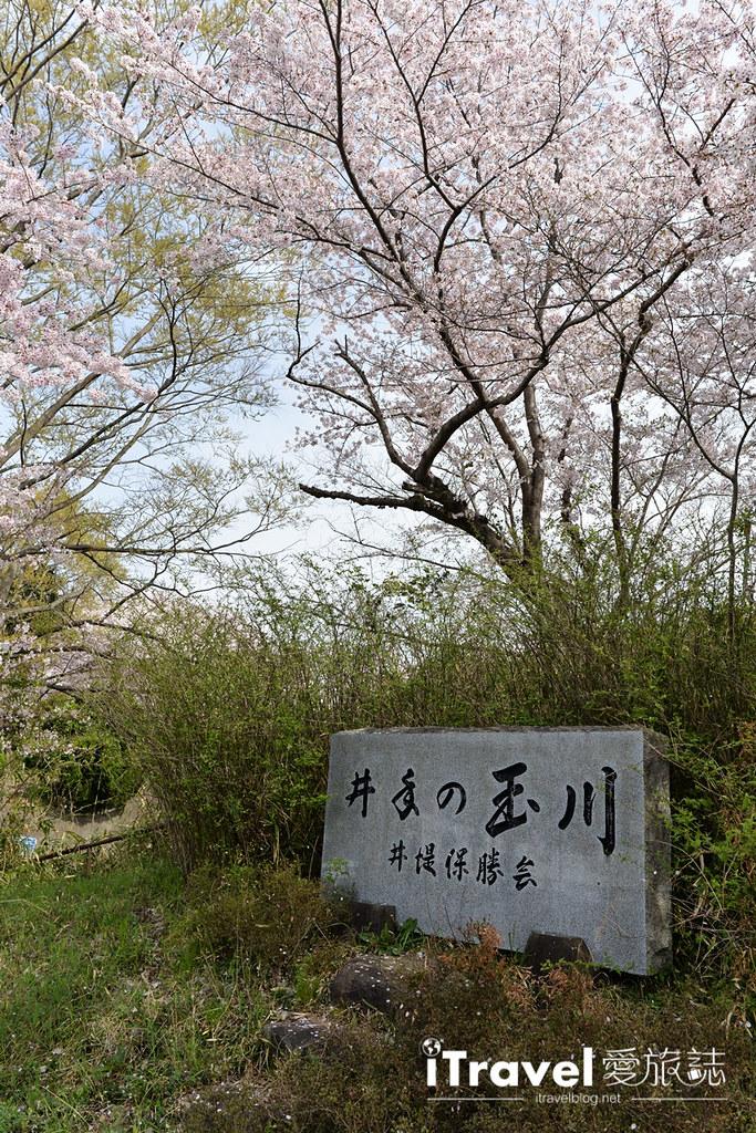 京都赏樱景点 井手町玉川堤 (4)