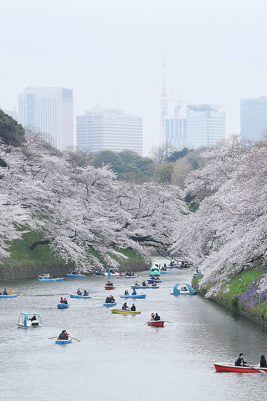 Sakura in full bloom at Chidorigafuchi, Tokyo 05