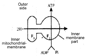 Plus One Botany Notes Chapter 10 Respiration in Plants 9