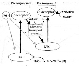 Plus One Botany Notes Chapter 9 Photosynthesis in Higher Plants 8