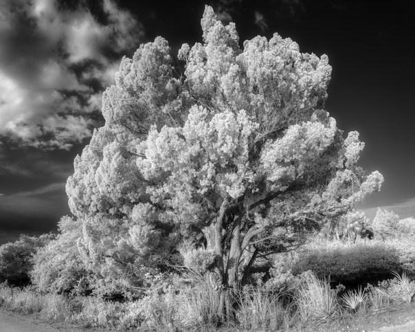 Weathered Red Cedar