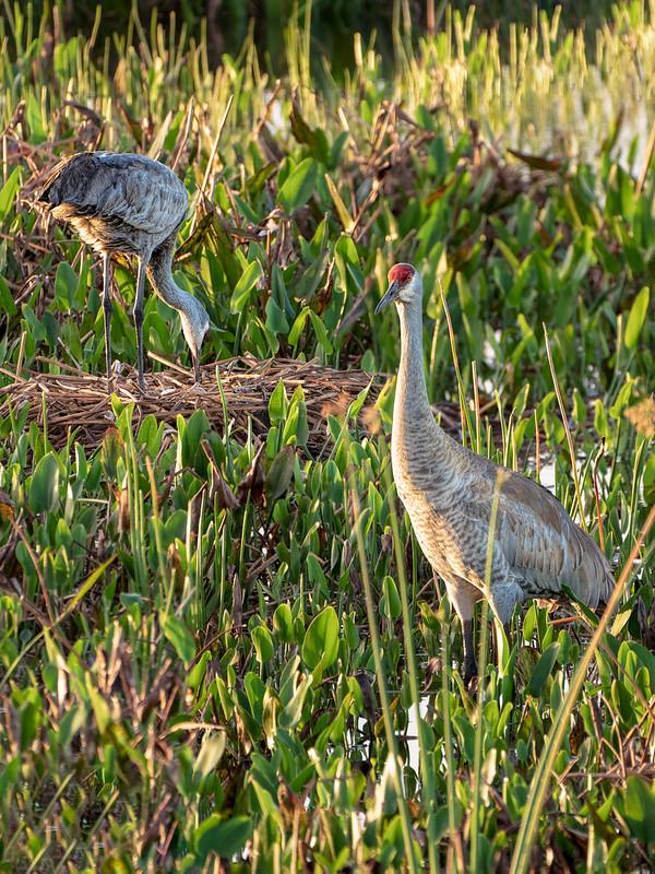 Nesting Sandhill Cranes