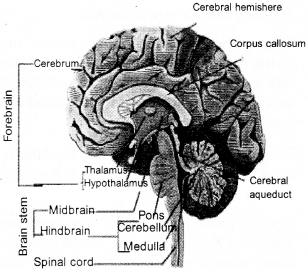 Plus One Zoology Notes Chapter 10 Neural Control and Coordination 7
