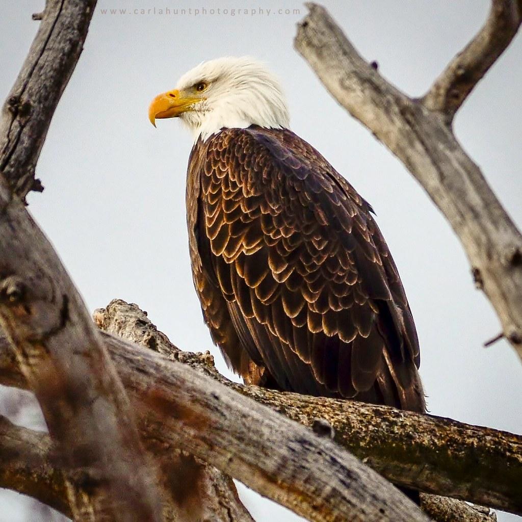 Bald Eagle, Coldstream, BC