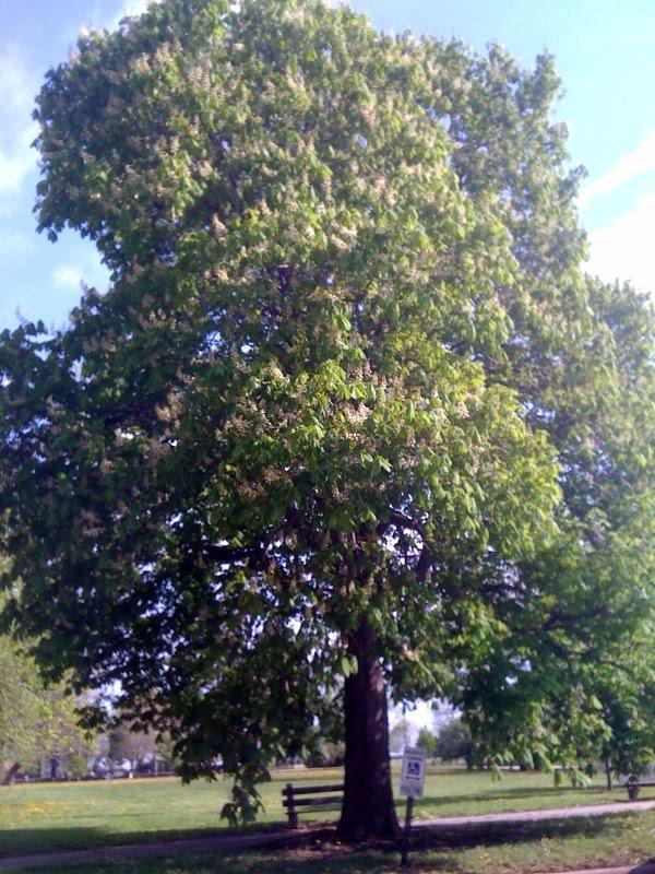 Burnham Park horse chestnut