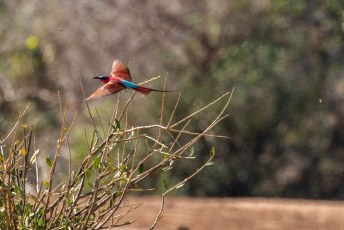 Als ze wegvliegen zijn ze zo mogelijk nog mooier. Alleen wel lastig om er een scherpe foto van te krijgen op grote afstand.