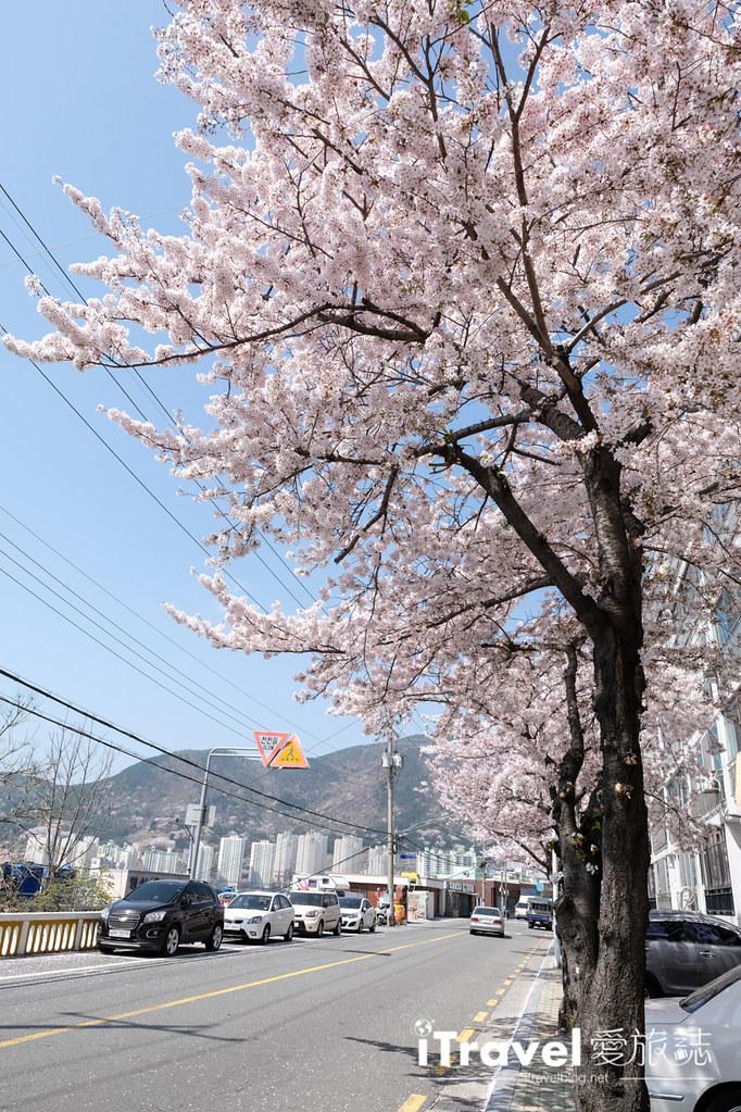 釜山賞櫻景點 東大新洞望洋路 (25)