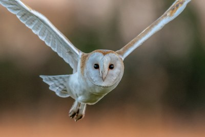 Barn Owl, Suffolk UK