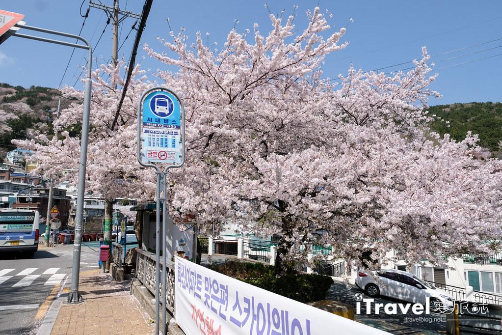 釜山賞櫻景點 東大新洞望洋路 (49)