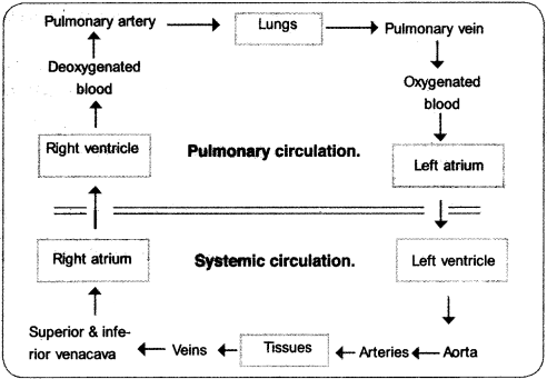Plus One Zoology Notes Chapter 7 Body Fluids and Circulation 16